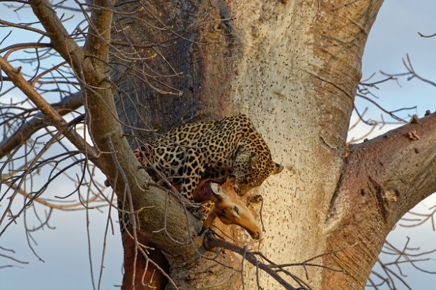 Großkatze Leopard