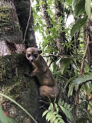 Der Wickelbär (Potos flavus) wird auch Honigbär genannt.