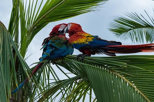 Papageien paaren sich