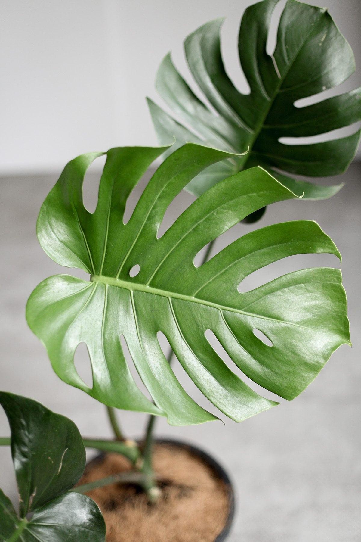 Monstera Indoor Plants Philippines