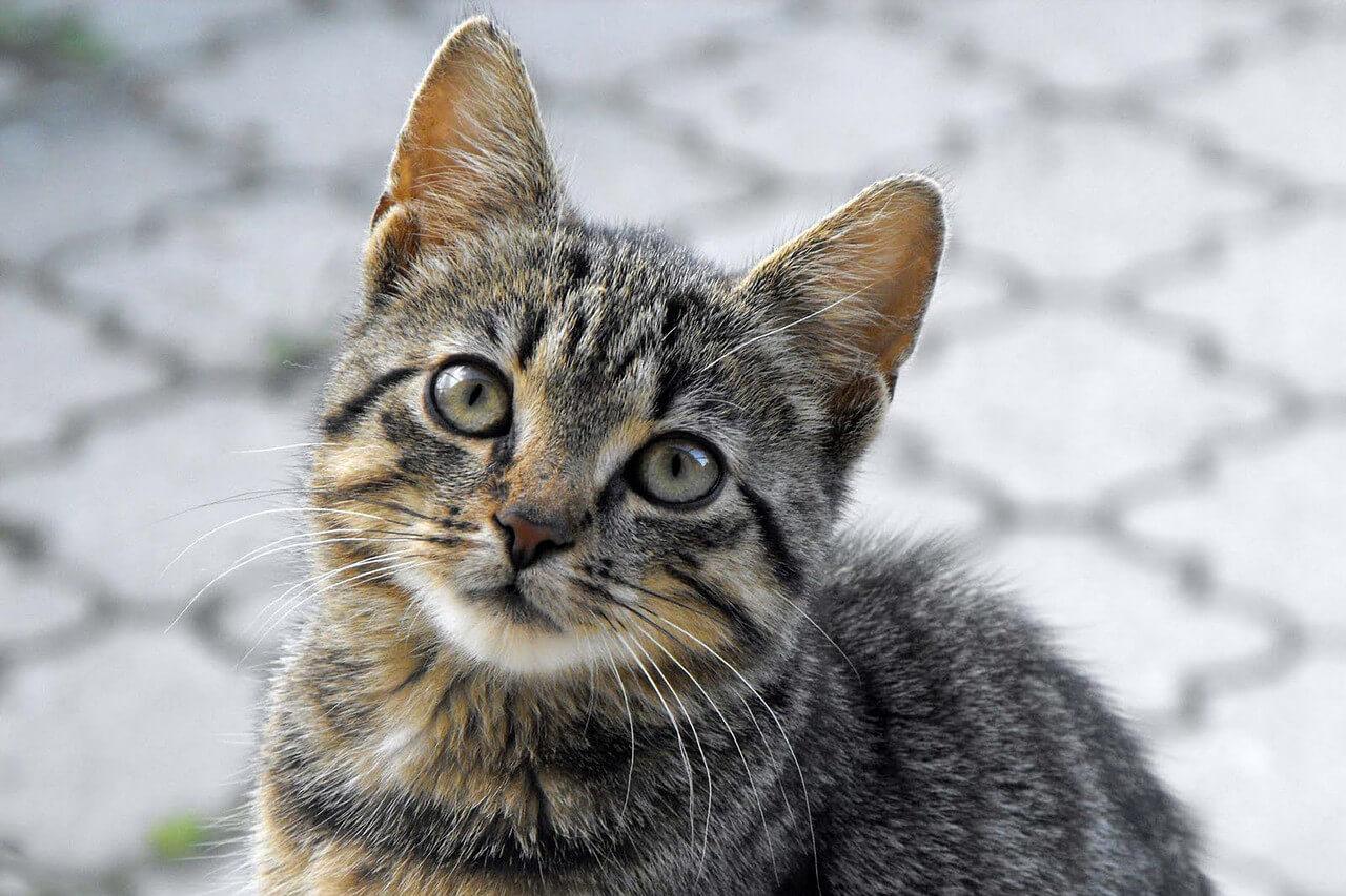Katzen Und Süße Katzenbabys Kaufen In Nienburg Weser
