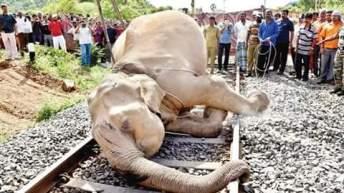 wild elephant dies