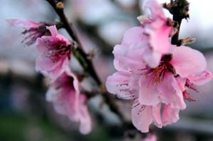 桜よりも少し優しい感じ?