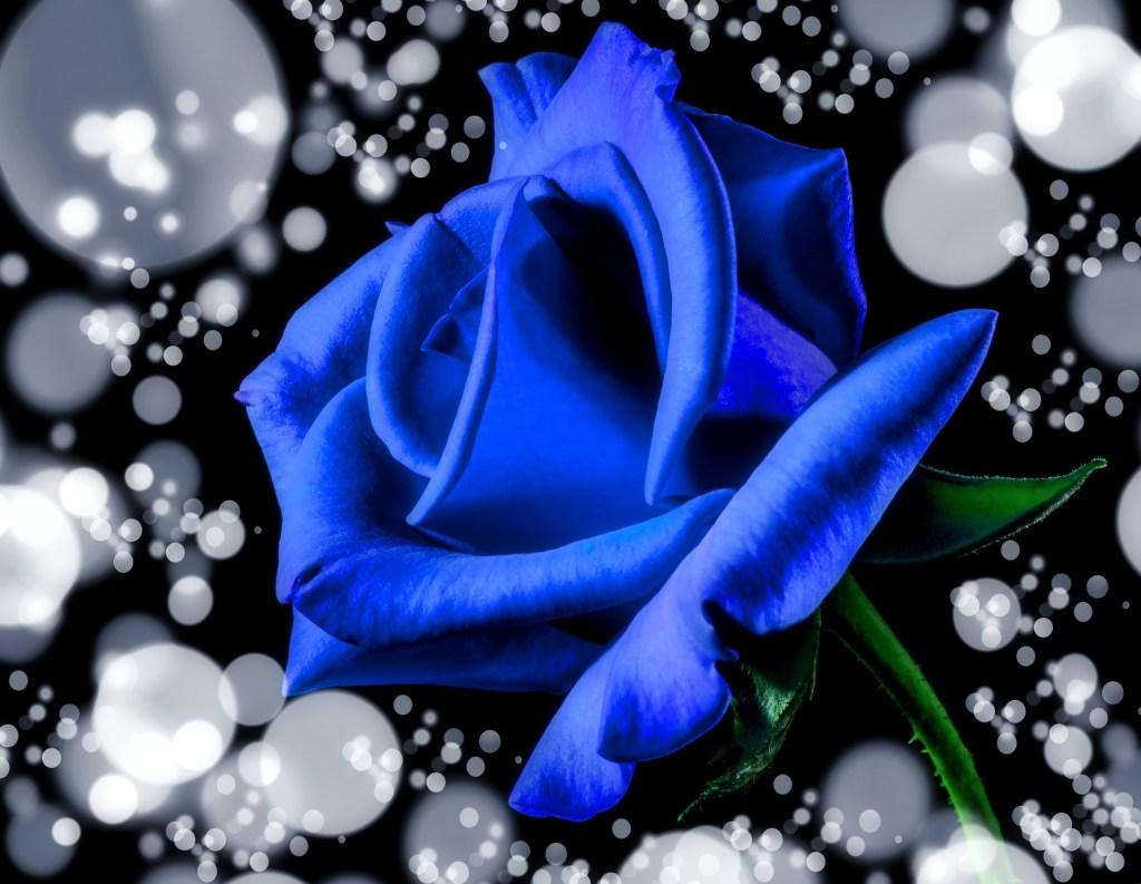 blue-rose-1186325_1920
