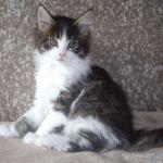Ailsa, as a kitten