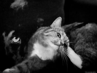 Katten Milou