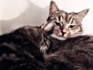 Tiger sover i Milou's päls