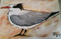 Least Tern - Wintery plumage