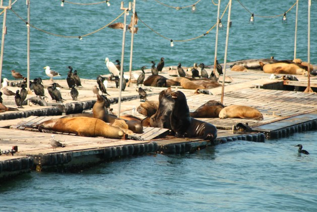 USA West Coast Road Trip - Sea lions in San Diego Bay
