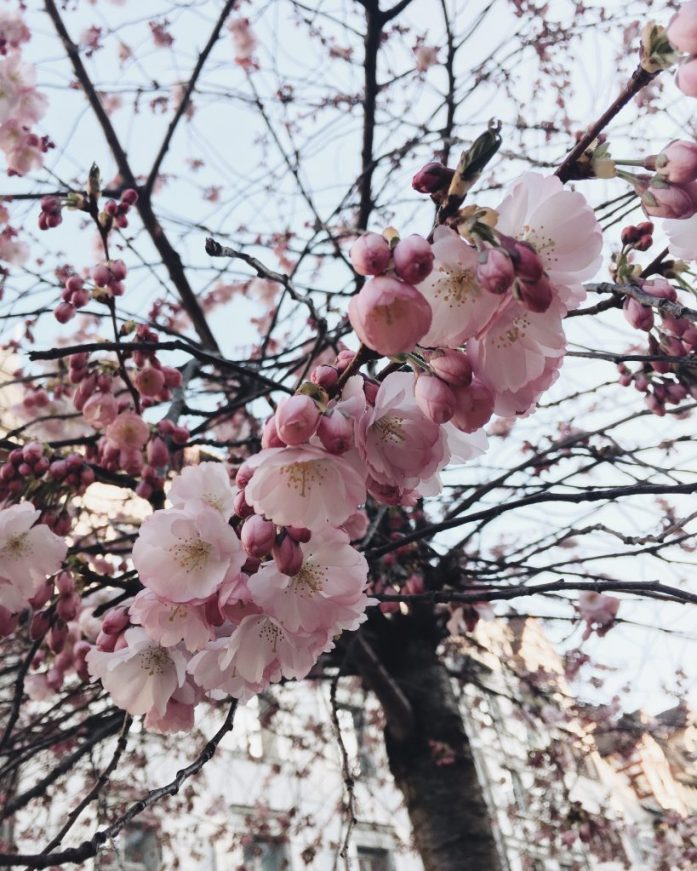 Cherry Tree Sakura 2019