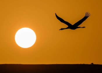 A picture taken on December 07, 2016 shows a Gray Crane flying over the Agamon Hula Lake in the Hula valley as the sun rises in northern Israel.More than half a billion birds of some 400 different species pass through the Jordan Valley to Africa and go back to Europe during the year. Some 42,500 Gray Cranes stayed this winter in the Agamon Hula Lake instead of migrating to Africa, taking advantage of the safety of this artificial water source. Local farmers feed the birds with corn in a bid to prevent them from destroying their agricultural fields. / AFP / JACK GUEZ        (Photo credit should read JACK GUEZ/AFP/Getty Images)