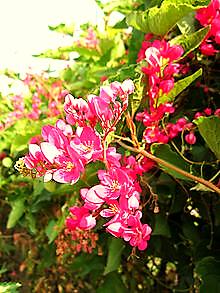 https://upload.wikimedia.org/wikipedia/commons/thumb/2/29/Hoa_ti_gon_2.jpg/220px-Hoa_ti_gon_2.jpg