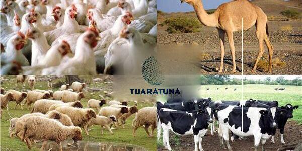 أساسيات تجارة الماشية