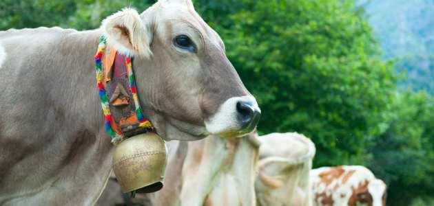 مشروع تربية الأبقار في مصر