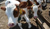 كيف تنشئ مزرعة أبقار