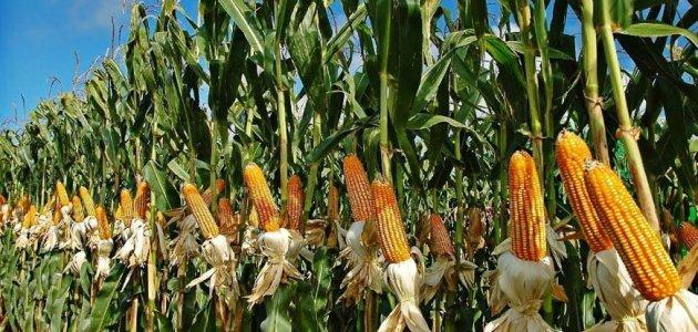 زراعة محصول الذرة في السودان