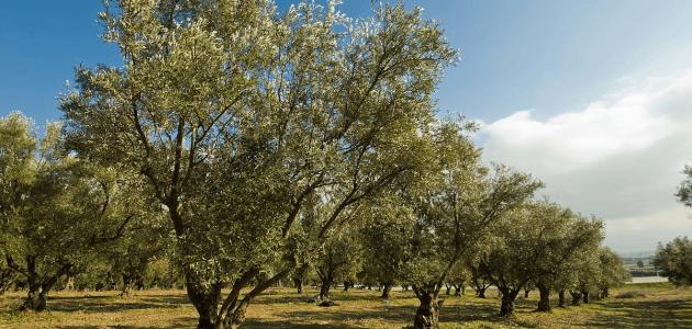 كم تحتاج شجرة الزيتون من سقاية الماء