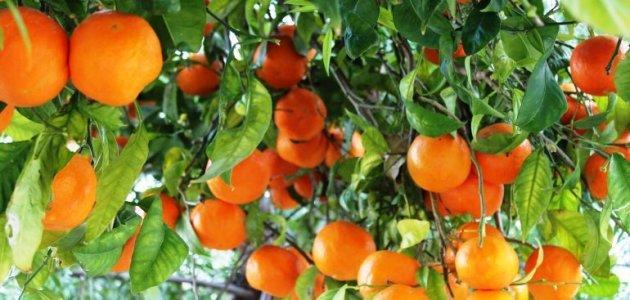 مواسم زراعة البرتقال وطريقة زراعة شجرة البرتقال وأماكن زراعة البرتقال
