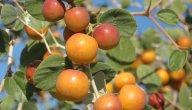 مواسم زراعة السدر وطريقة زراعة شجرة السدر