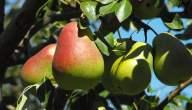 موسم زراعة الكمثرى وفوائدها الصحية و طريقة زراعة الكمثرى