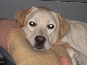 Foto van zeer blonde labrador pup, Umbar, die lekker in zijn mandje ligt bij zijn tweede pleeggezin.