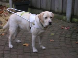 Foto van zeer blonde labrador, Umbar, die met zijn tuig aan staat, tijdens de instructieperiode in december 2009.