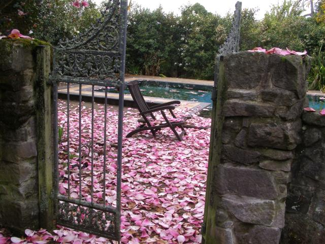 The deciduous magnolia flowering is over for another year - the perils of building our swimming pool too near the original Magnolia Serene