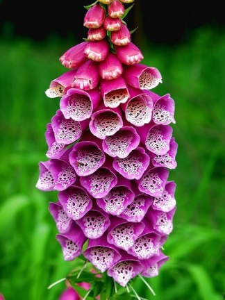 http://flowerinfo.org/foxglove-flowers