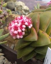 Crassula 'Bride's Bouquet'