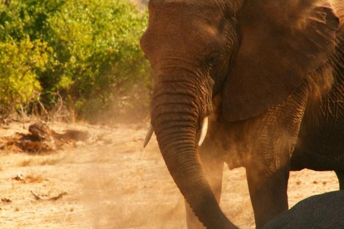 """""""Elephant in Dust""""byNamibnatis licensed underCC BY 2.0"""