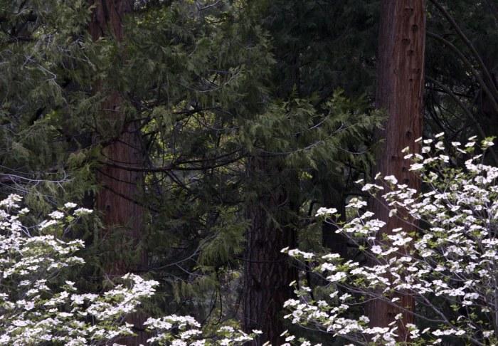 """Yosemite Dogwood"" by flythebirdpath > > > is licensed under CC BY-NC 2.0"