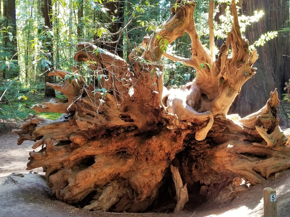 Uprooted Redwood