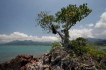 Der Umbrellabaum