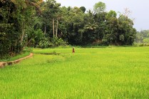 Mitten durchs Reisfeld