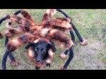 Partida do Cão Aranha