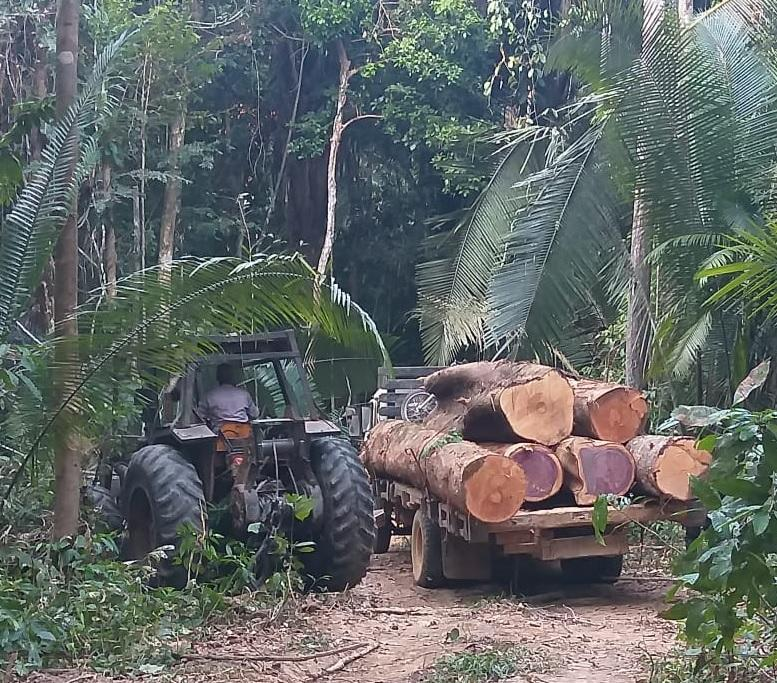 illegally harvested logs loaded on a truck in the Amazon forest