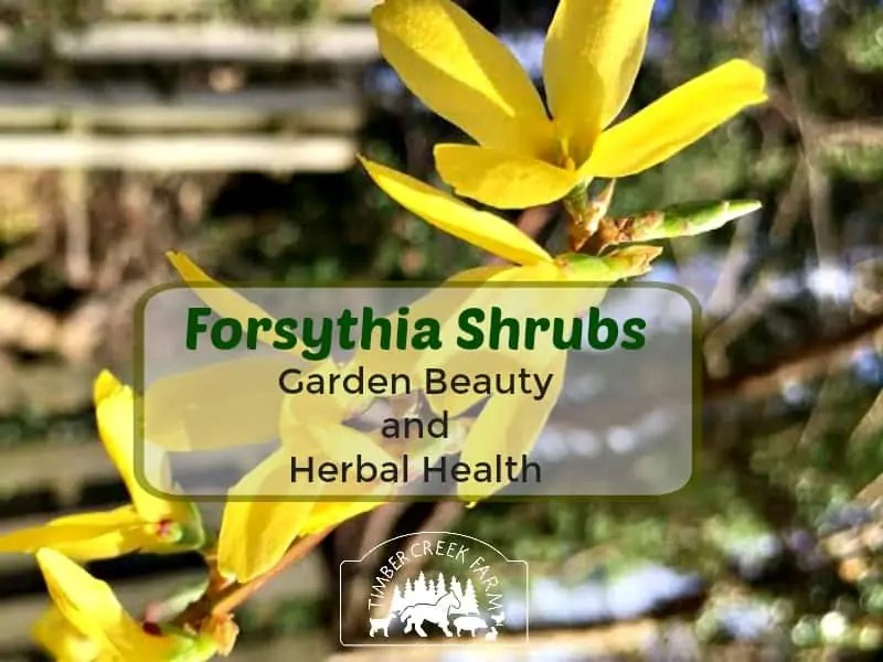 Forsythia Shrubs Give Beauty And Herbal Health Timber Creek Farm