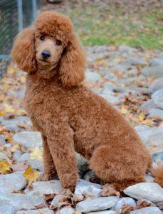 Goldendoodle Haircuts Goldendoodle Grooming Timberidge