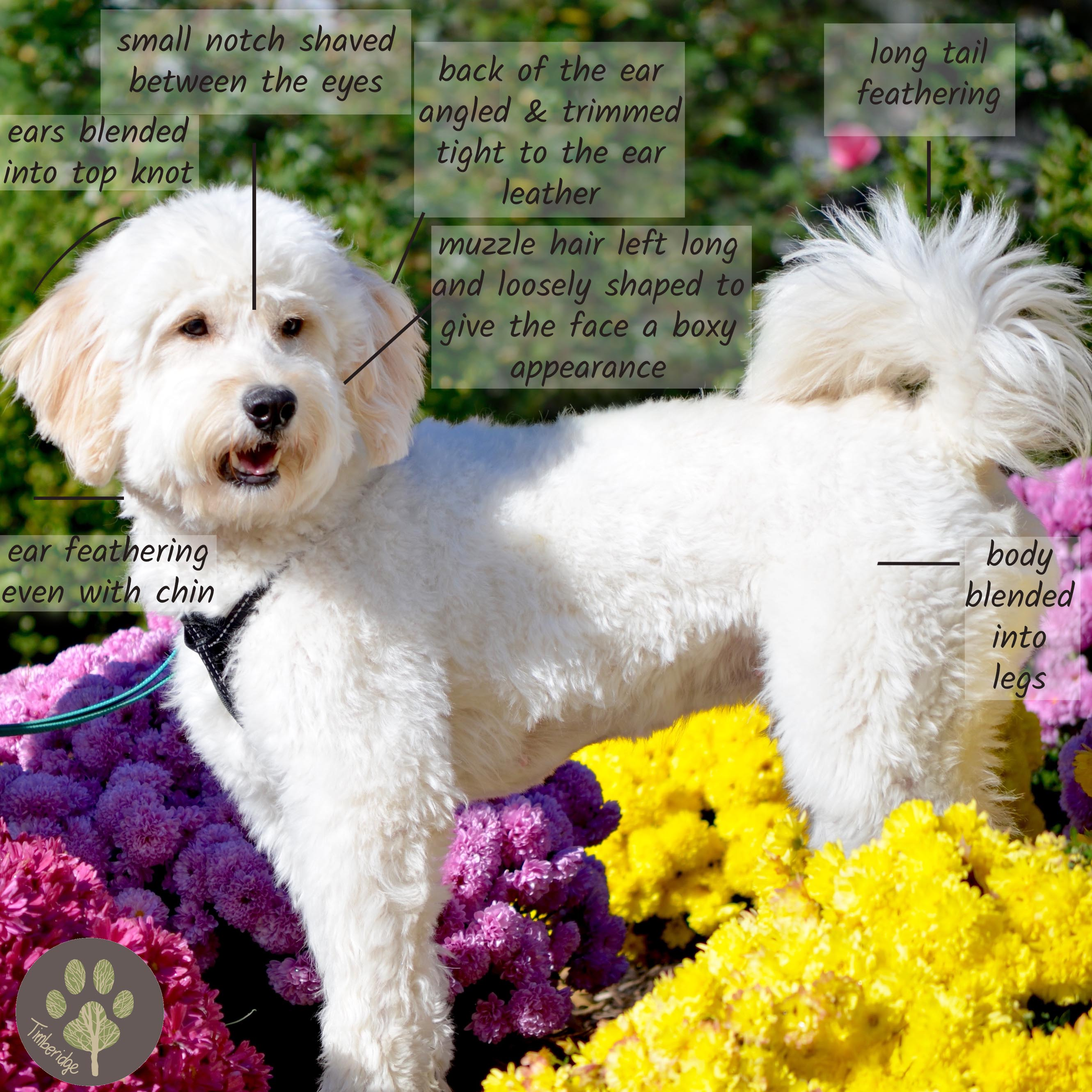 Goldendoodle Haircut Pictures - Timberidge Goldendoodles