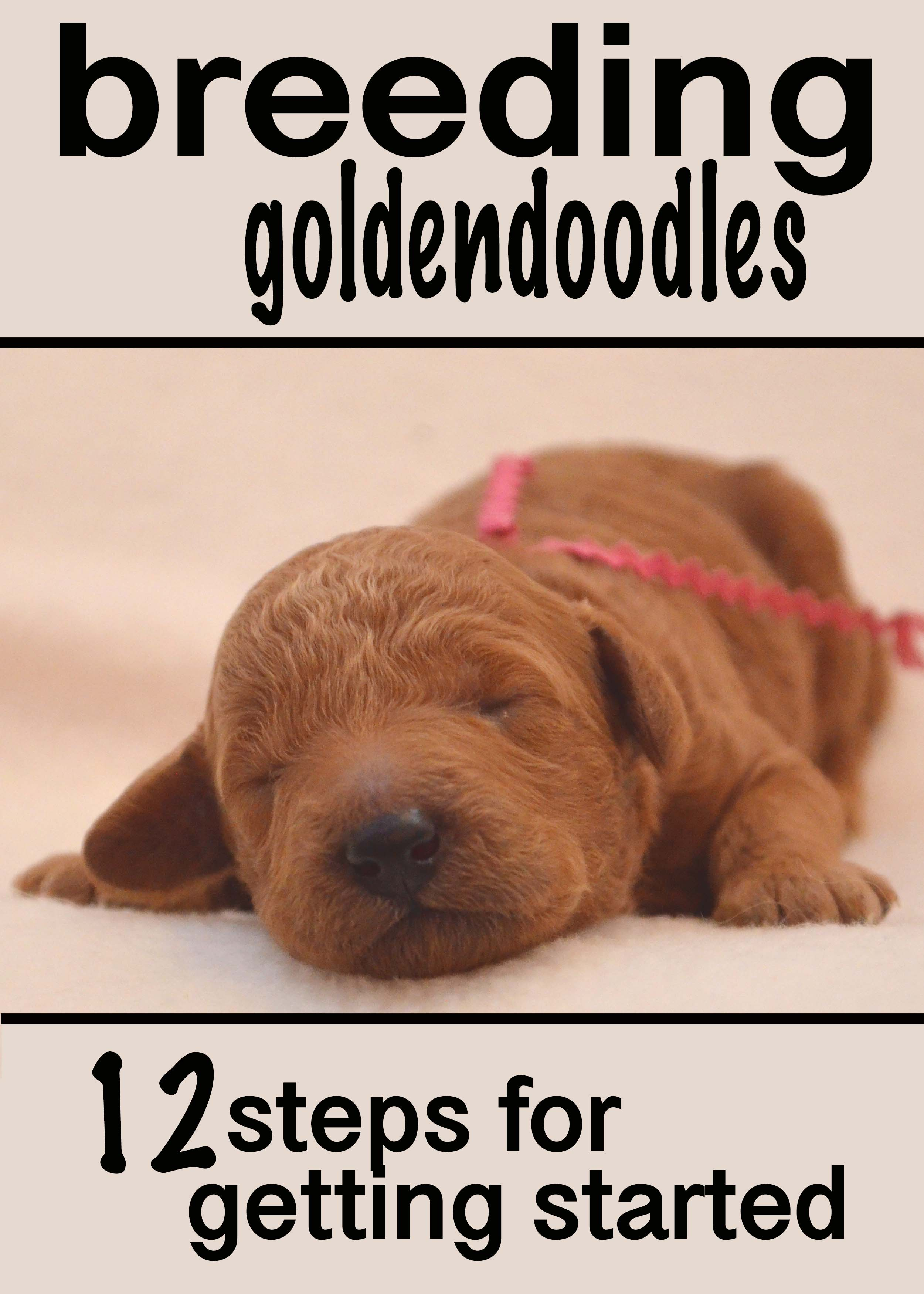 12 Steps To Getting Started Breeding Goldendoodles