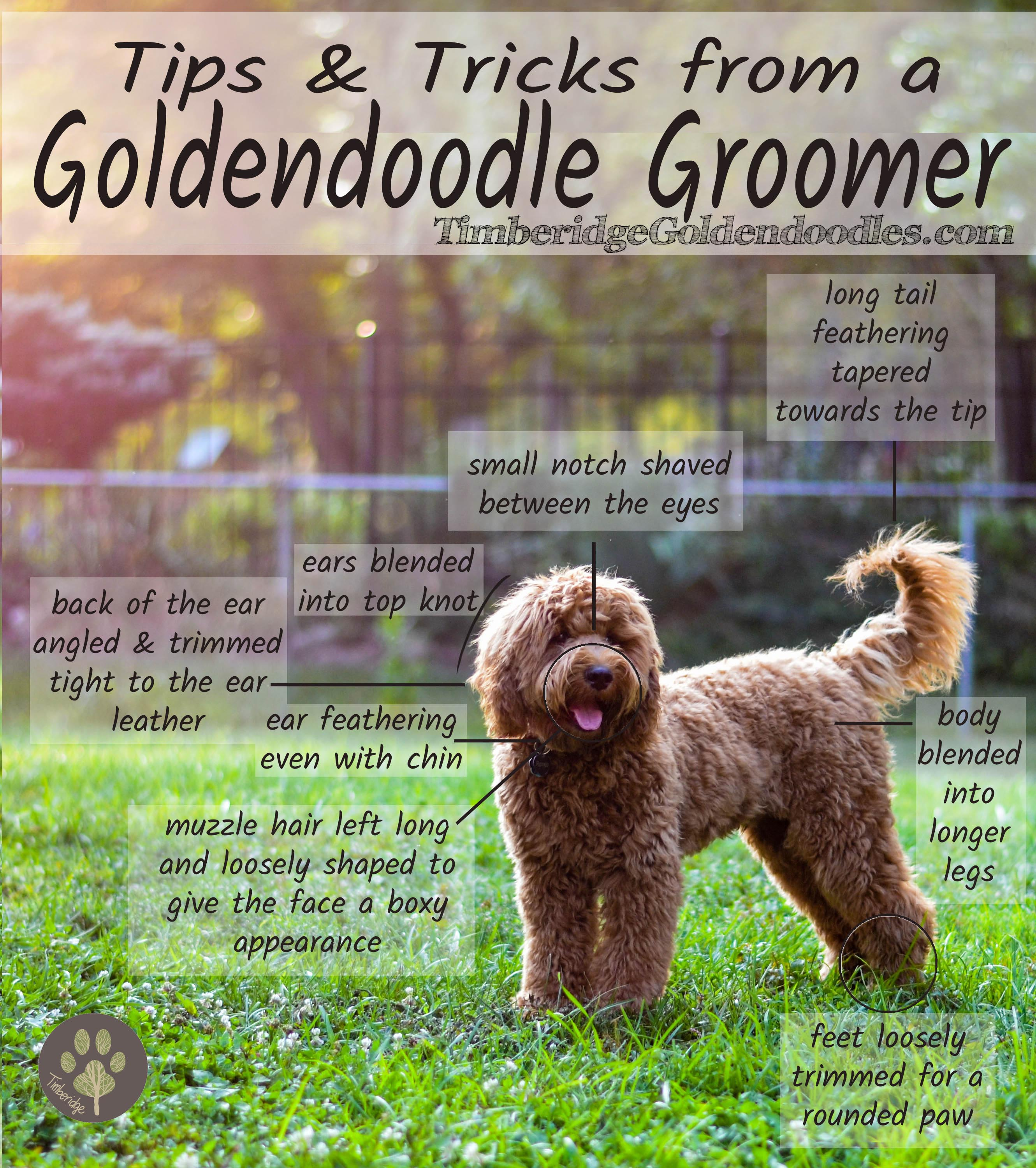 Q&A With A Goldendoodle Groomer - Timberidge Goldendoodles