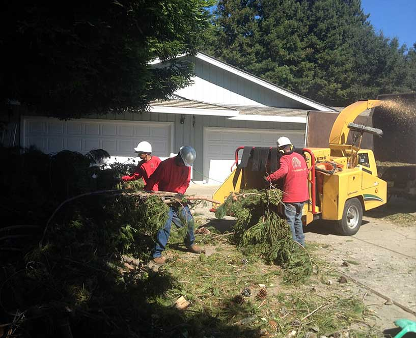 Tree service team in Danville CA mulches tree branches during a pruning