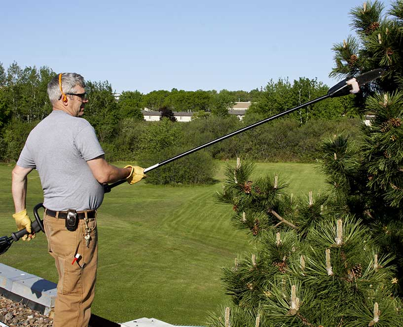 trimming a pine tree on a golf course in San Ramon