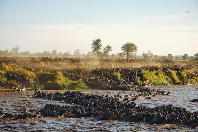 The Great Wildebeest Migration - serengeti wildlife