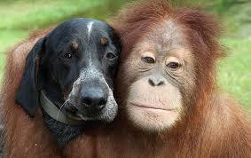 orangatang hound