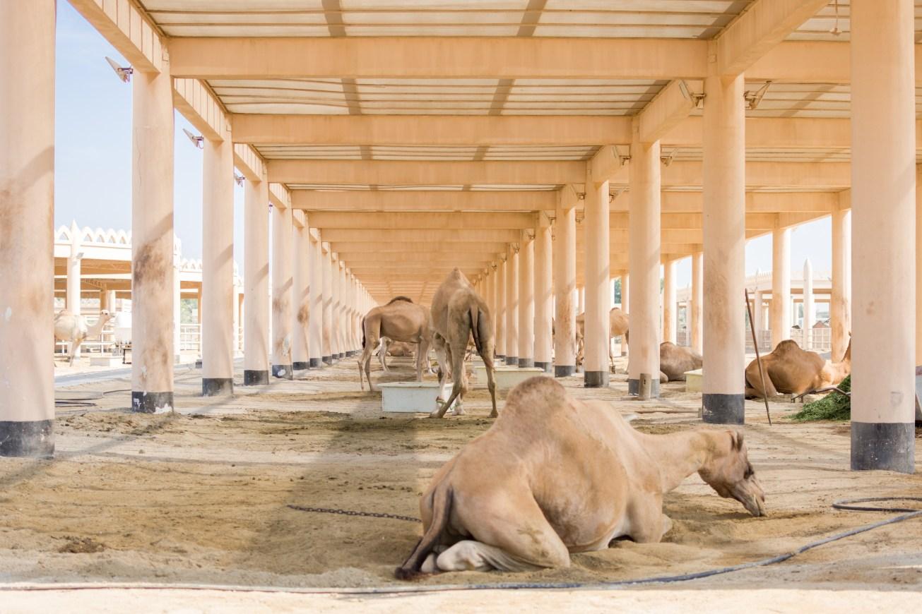 Royal Camel Farm