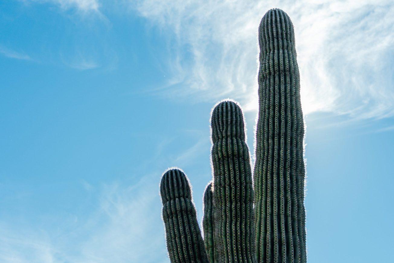 Photo of a saguaro cactus