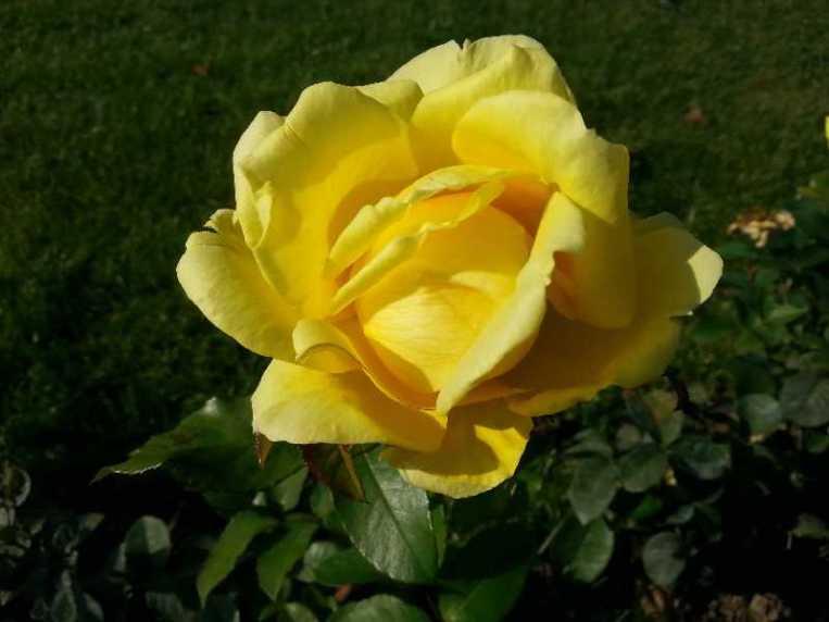 October-roses-02