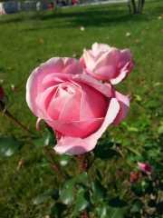 October-roses-05
