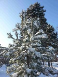 snow-on-trees-03